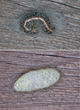Eastern Tent Caterpillar 12 hrs. before and after beginning to weave silken cocoon