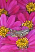 Band-winged Grasshopper on zinnia flower