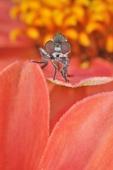 Robber Fly, sometimes called Assassin flies, on Zinnia flower