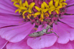Spiny Assassin Bug nymph on zinnia flower