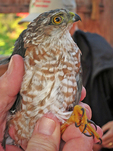 Recently trapped Sharp-shinned Hawk