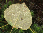 Water droplets on Quaking Aspen leaf