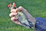 Recently caught female Yellow-bellied Sapsucker just before being banded