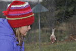 Little girl looking at male House Finch trapped in mist net