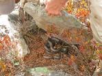 Black Rat Snake hiding under rock