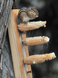 Eastern Chipmunk eating dried corn from cob