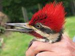 Bird bander holding a male Pileated Woodpecker