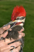Bird bander holding a male Pileated Woodpecker as it bites a finger