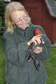 Female bird bander holding Pileated Woodpecker