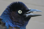Common Grackle face-to-face