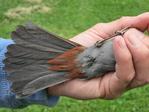 Bird bander showing the underside of a Gray Catbird