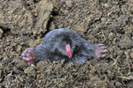 Hairy-tailed Mole pushing up through dirt mound