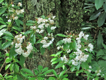 Mountain Laurel with white flowers