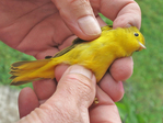 Recently trapped female Yellow Warbler to be banded