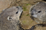 Groundhogs at burrow entrance