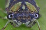 Dogday Cicada face-to-face