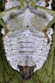 Dogday Cicada sound making organs, tymbals