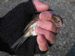 Field Sparrow held by bird bander...showing band on leg