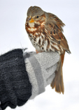 Recently trapped Fox Sparrow held by bird bander