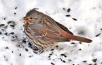 Fox Sparrow in snow feeding on black oil sunflower seeds