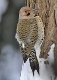Male Northern Flicker/Yellow-shafted race on side of tree