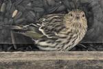 Pine Siskin face-to-face, feeding at sunflower seed bird feeder