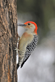 Red-bellied Woodpecker feeding, perched on side of tree
