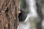 European Starling feeding on insects inside black locust tree
