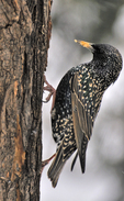 European Starling perched on side of black locust tree