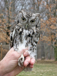 Recently captured Eastern Screech-owl