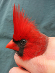 Male Northern Cardinal showing spring breeding plumage