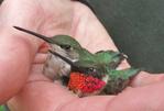 Female and male Ruby-throated Hummingbirds