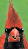 Male Northern Cardinal face-to-face