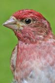 Male Purple Finch portrait