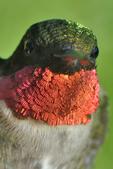 Male Ruby-throated Hummingbird face