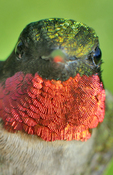 Male Ruby-throated Hummingbird face-to-face