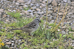 White-crowned Sparrow feeding on dandelion seeds