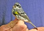 Male Yellow-rumped Warbler held by bird bander