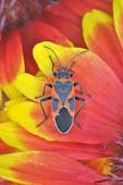Small Milkweed Bug on Gaillardia flower