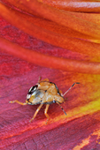 Spined Soldier Bug nymph on day lily flower petal