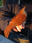 Brown Thrasher held by bird bander