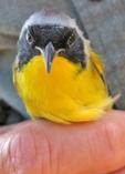 Common Yellowthroat held by bird bander