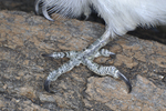 Hairy Woodpecker foot and zygodactyl toe arrangement