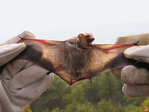 Hoary Bat trapped in mist net by researcher