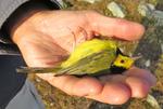 Hooded Warbler held by bird bander