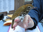 Wood Thrush held by bird bander