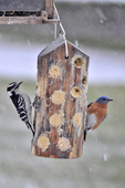 Male Eastern Bluebird male and Downy Woodpecker feeding on bark butter feeder