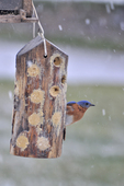 Male Eastern Bluebird on bark butter feeder