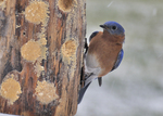 Male Eastern Bluebird on bark butter feeder