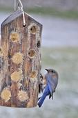 Female Eastern Bluebird on bark butter feeder